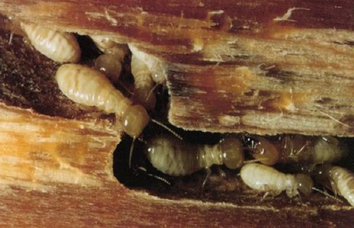 mối mọt tấn công gỗ